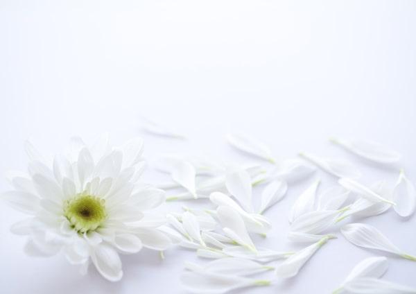 白い菊の花の写真